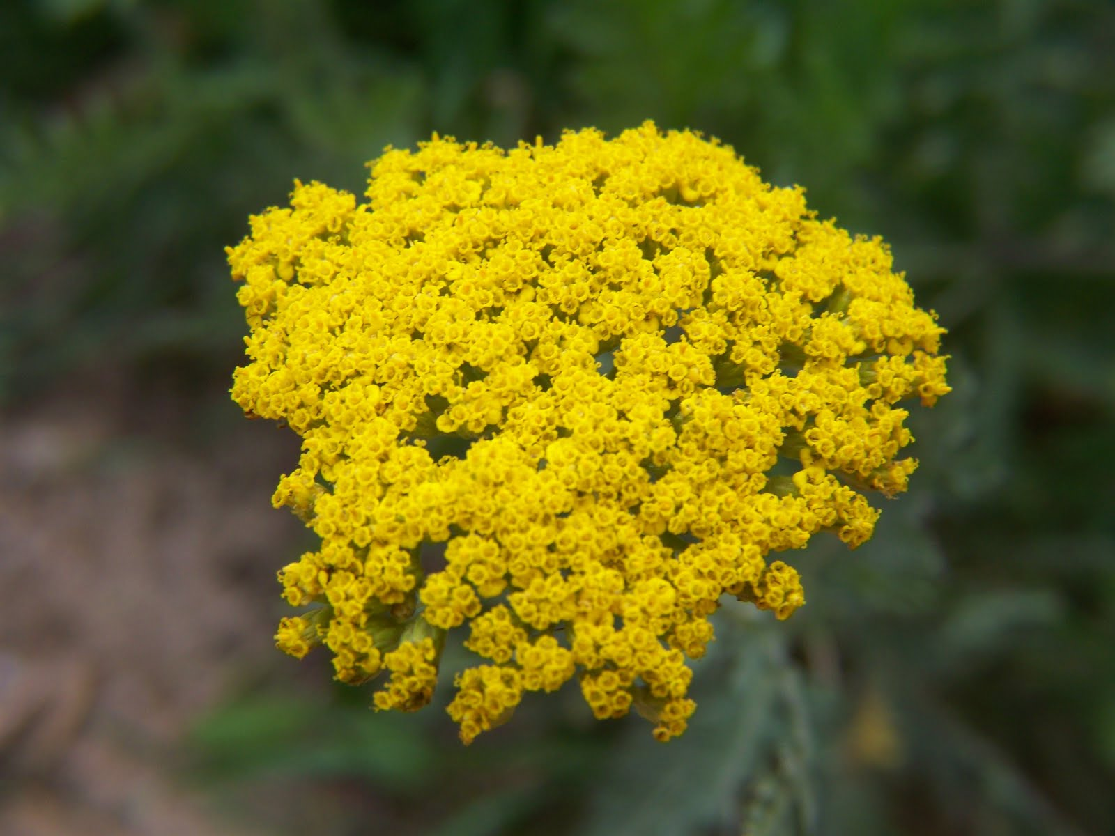 Picture of a yellow yarrow flower from this years garden Yellow Yarrow Flower