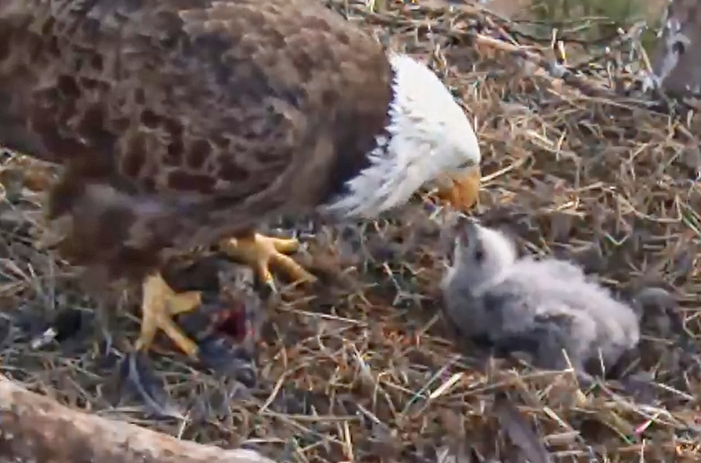 Eagles and Nature with chris7: Berry College Bald Eagle Chick Day 16 ...