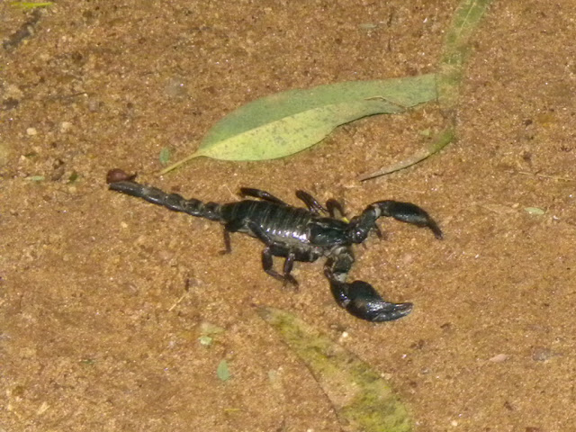 Scorpion which came to the campfire