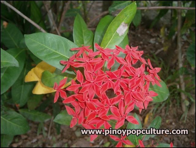 santan, Ixora, Rubiaceae, flowers