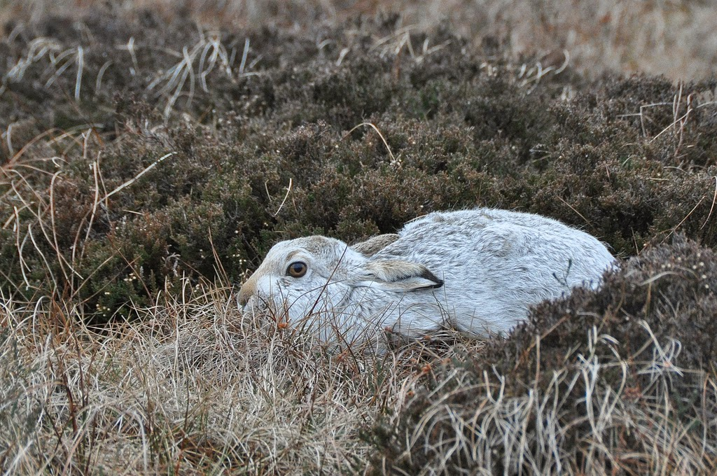 https://you.38degrees.org.uk/petitions/protect-the-mountain-hare-3#