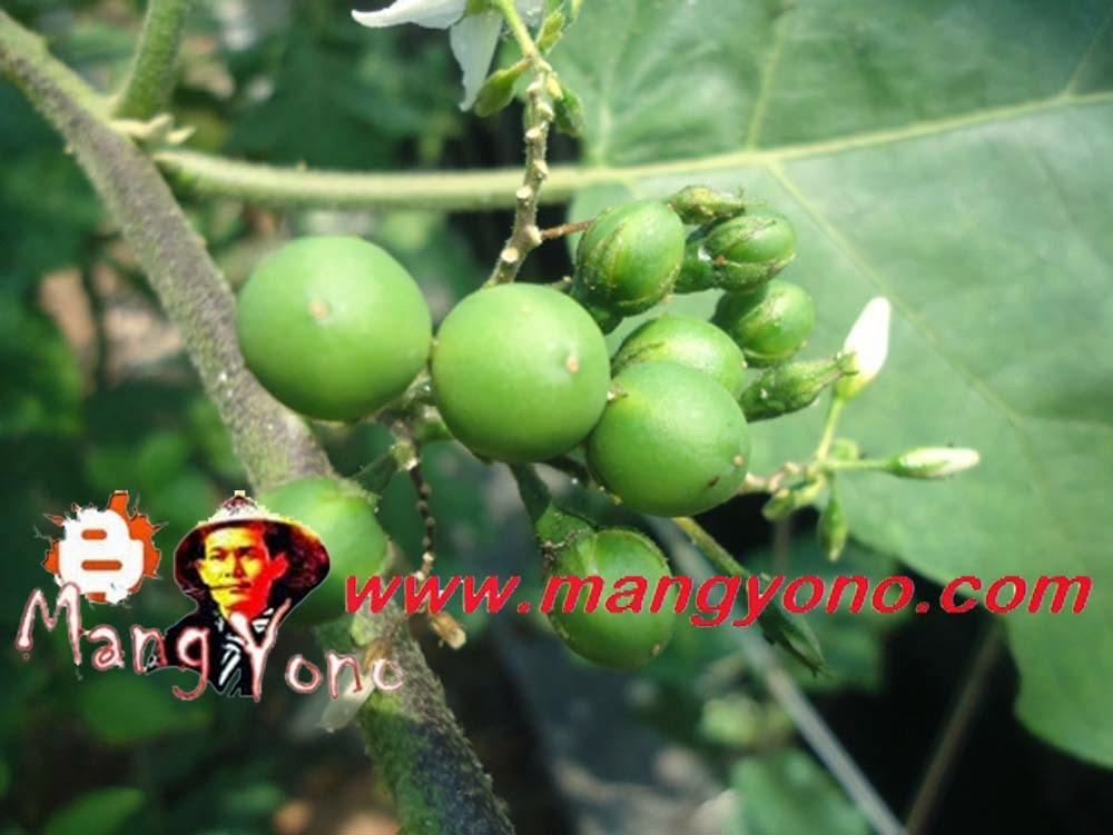 Takokak, Rimbang, Terung Pipit (Solanum Torvum)