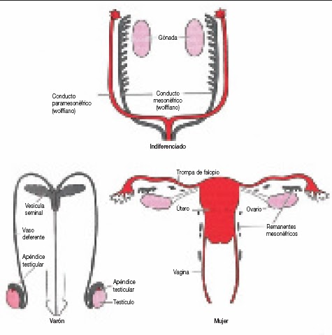 Syptoms del desarrollo de los senos masculinos