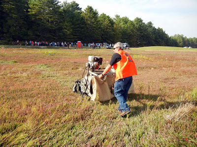 A farmer pushing a mechanical rake on the bog during dry cranberry harvest