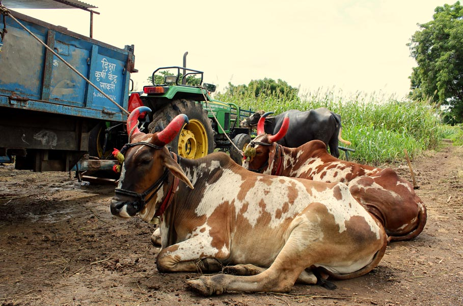 Banning Bull Slaughter Makes Vulnerable Populations Poorer