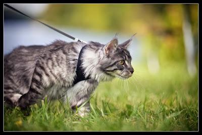 Stalone, the maine coon kitten