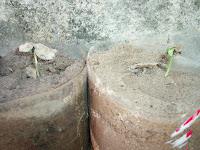 Como Plantar Sementes de Ipês Rosa,Roxo,Amarelo,Etc. 011