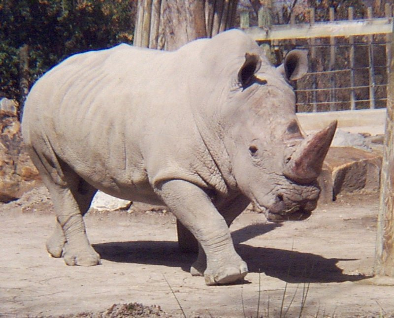 white rhino - photo #4