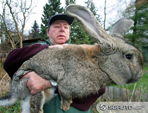 biggest bunny ever images amp pictures   becuo