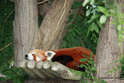 Red Panda sleeping in a tree at the zoo