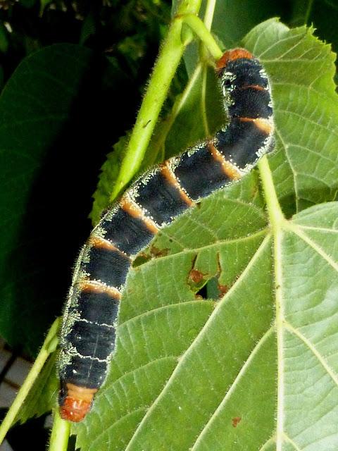 Arsenura species Mexico caterpillar