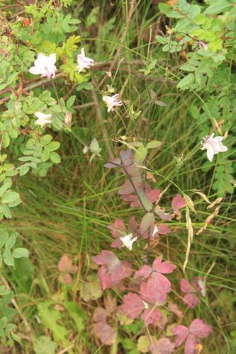 Akileija violetit lehdet
