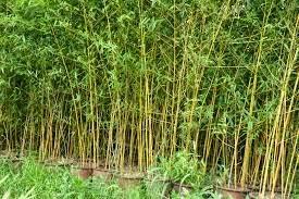 pohon bambu kelisik tukang taman