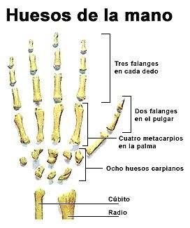Cuerpo Humano DIBUJO DE LOS HUESOS DE LA MANO