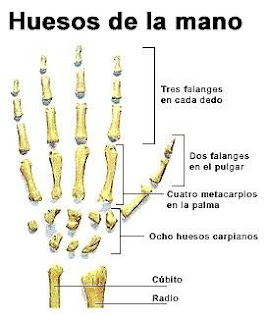 DIBUJO DE LOS HUESOS DE LA MANO
