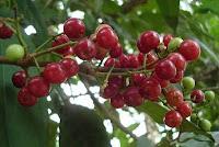 Buah salam,buah serai kayu