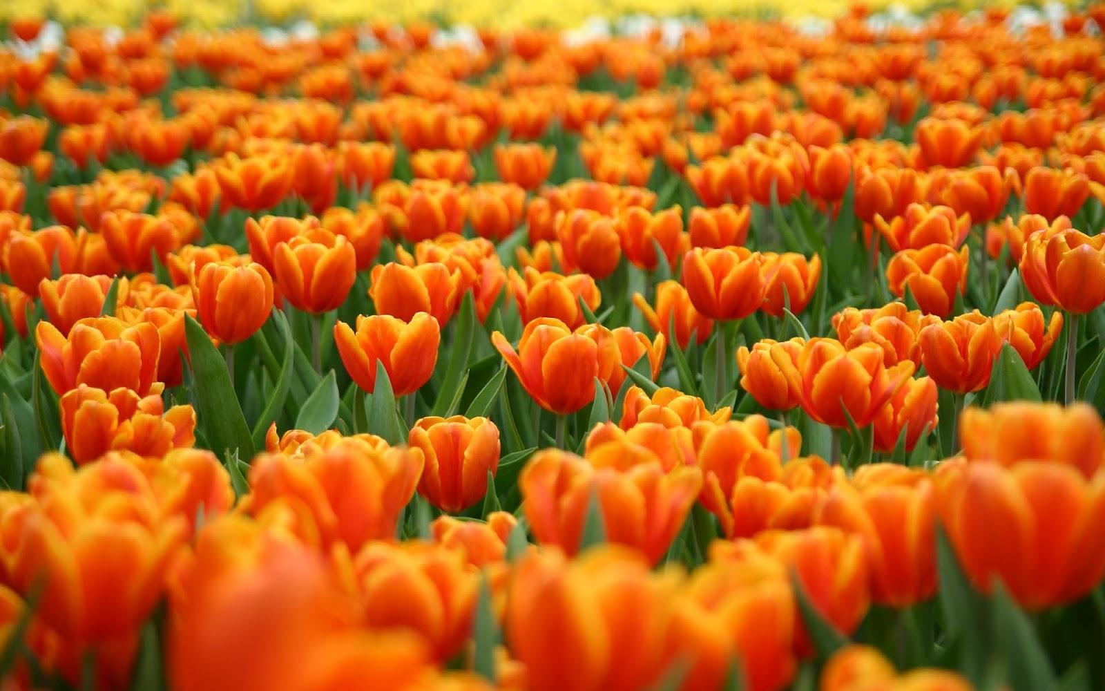 Een veld vol oranje tulpen   Bureaublad Achtergronden