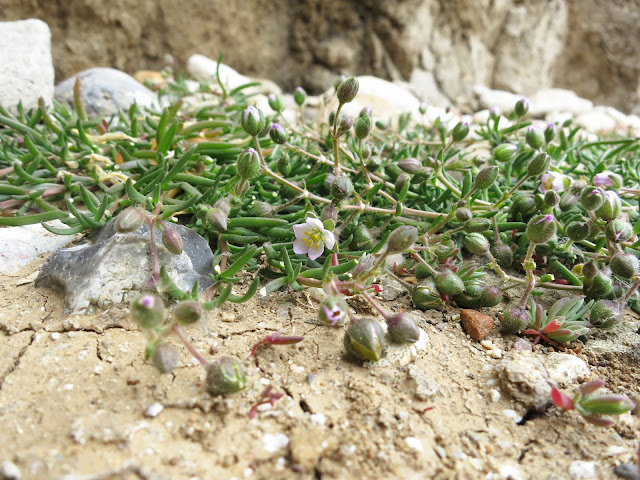 Greater Sea-spurrey - Spergularia media - flowering