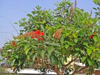 jual pohon dadap merah
