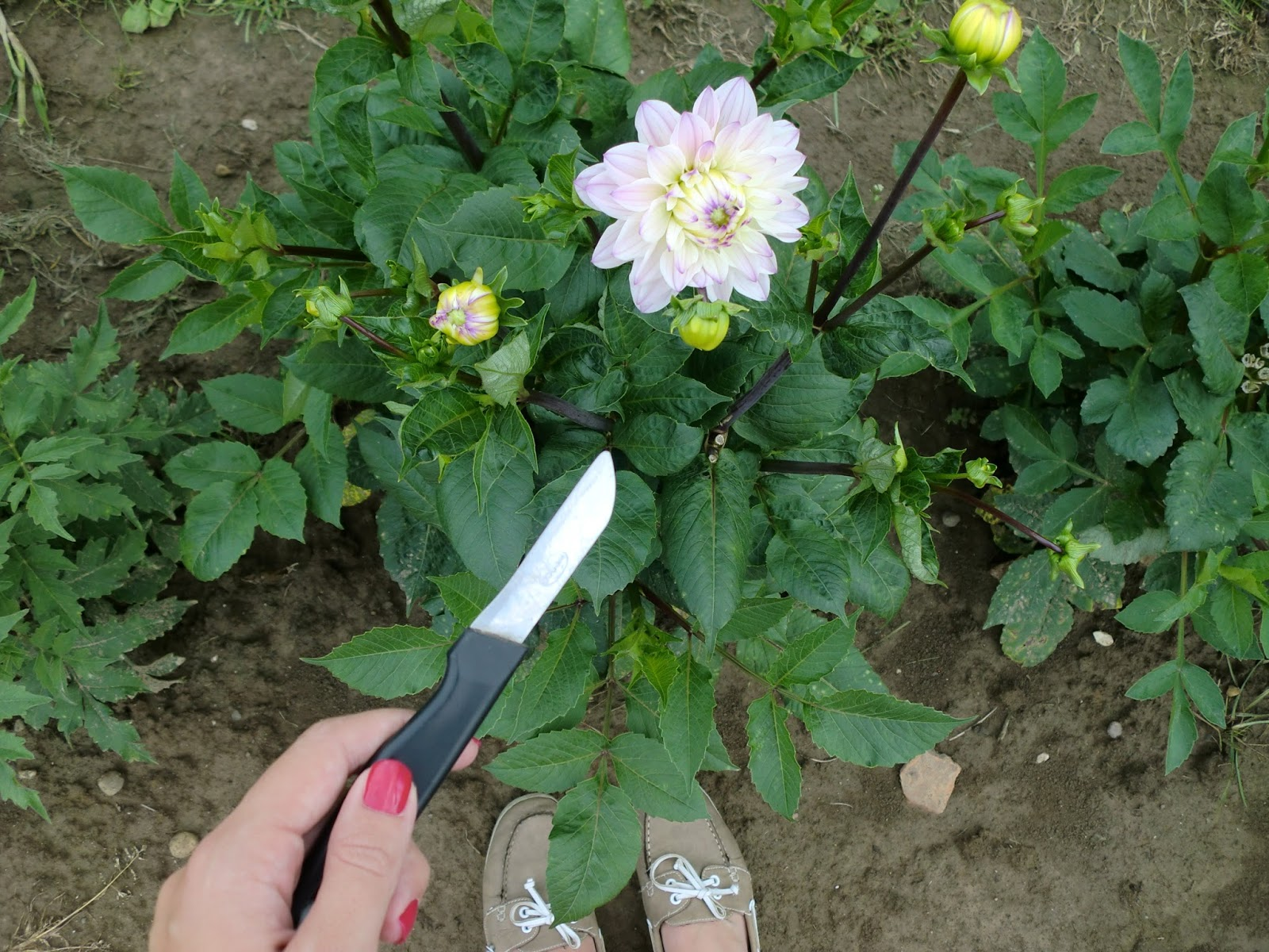 Blumenfeld zum Selberpflücken Dahlien Messer