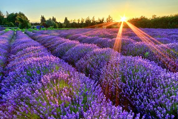 https://www.etsy.com/listing/197340417/lavender-farm-photography-sequim?ref=favs_view_7