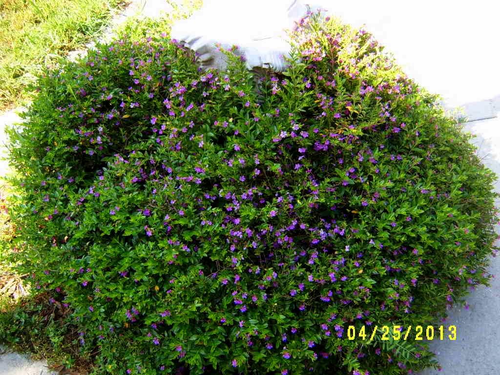 Garden Design Garden Design with Mexican Heather False Heather