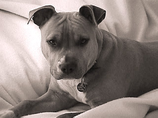 All About Animal Wildlife American Pitbull Terrier Hd Wallpapers 2012