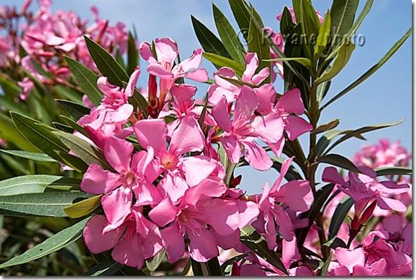 Préférence Œil absolu: Plantes médicinales de Kabylie: Le laurier rose de son  VR14