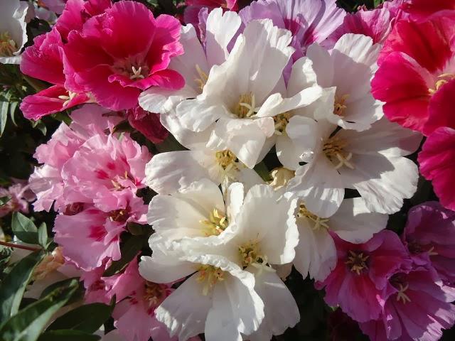 Годеция — чудо-цветок без лишних хлопот (фото, видео)!