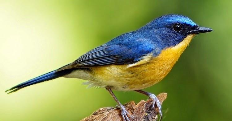 cara merawat burung tledekan sulingan agar cepat gacor