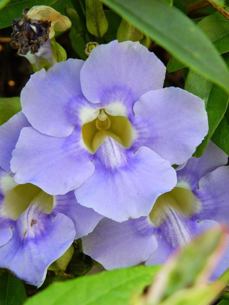 Thunbergia grandiflora Blue Sky vine Universal Studios Orlando by garden muses-not another Toronto garden blog