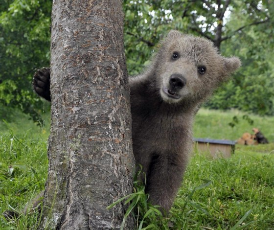 Cutest Bear Attack Ever: Bear Cub Plays With Park Visitor (VIDEO)