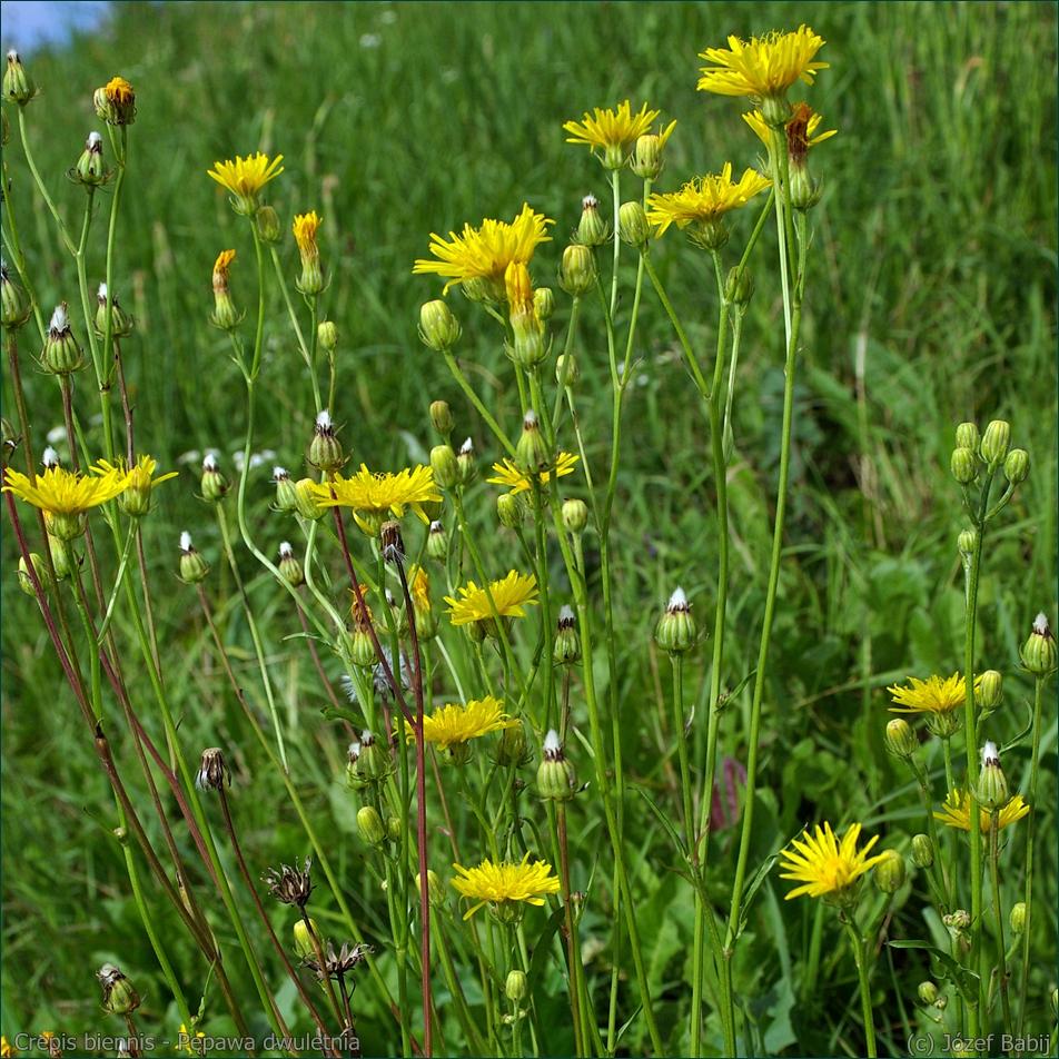 Crepis biennis - Pępawa dwuletnia kwiaty