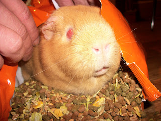 Cute guinea pig picture