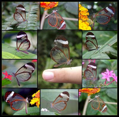mariposas transparentes