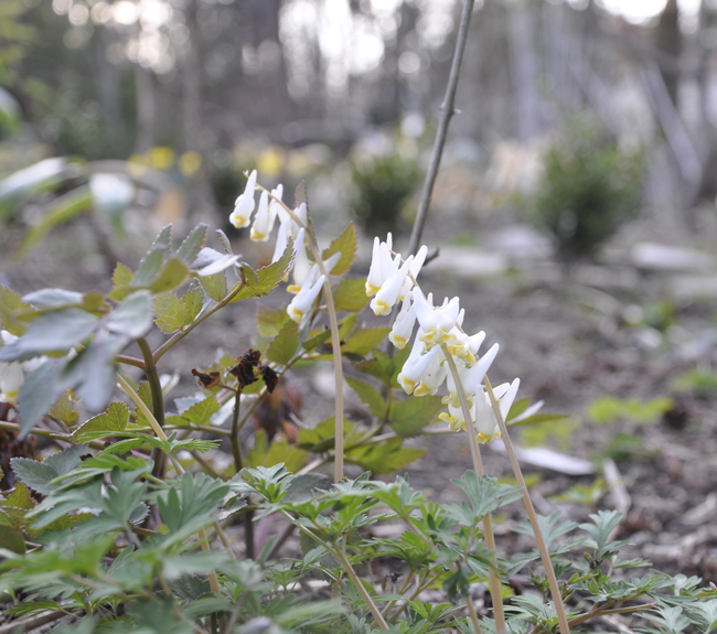 Dutchman's Breeches, Squirrel Corn