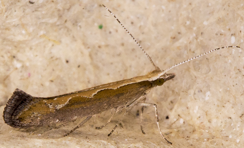 Diamondback Moth, Plutella xylostella.  Hayes, 5 July 2014