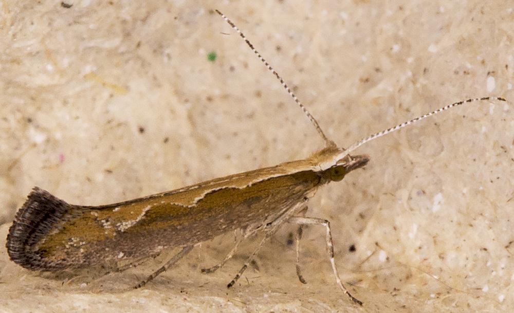 Diamondback Moth, Plutella xylostella.  Hayes, 5 July 2014