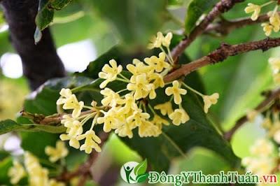 Hoa mộc là cây thuốc chữa đau sâu răng