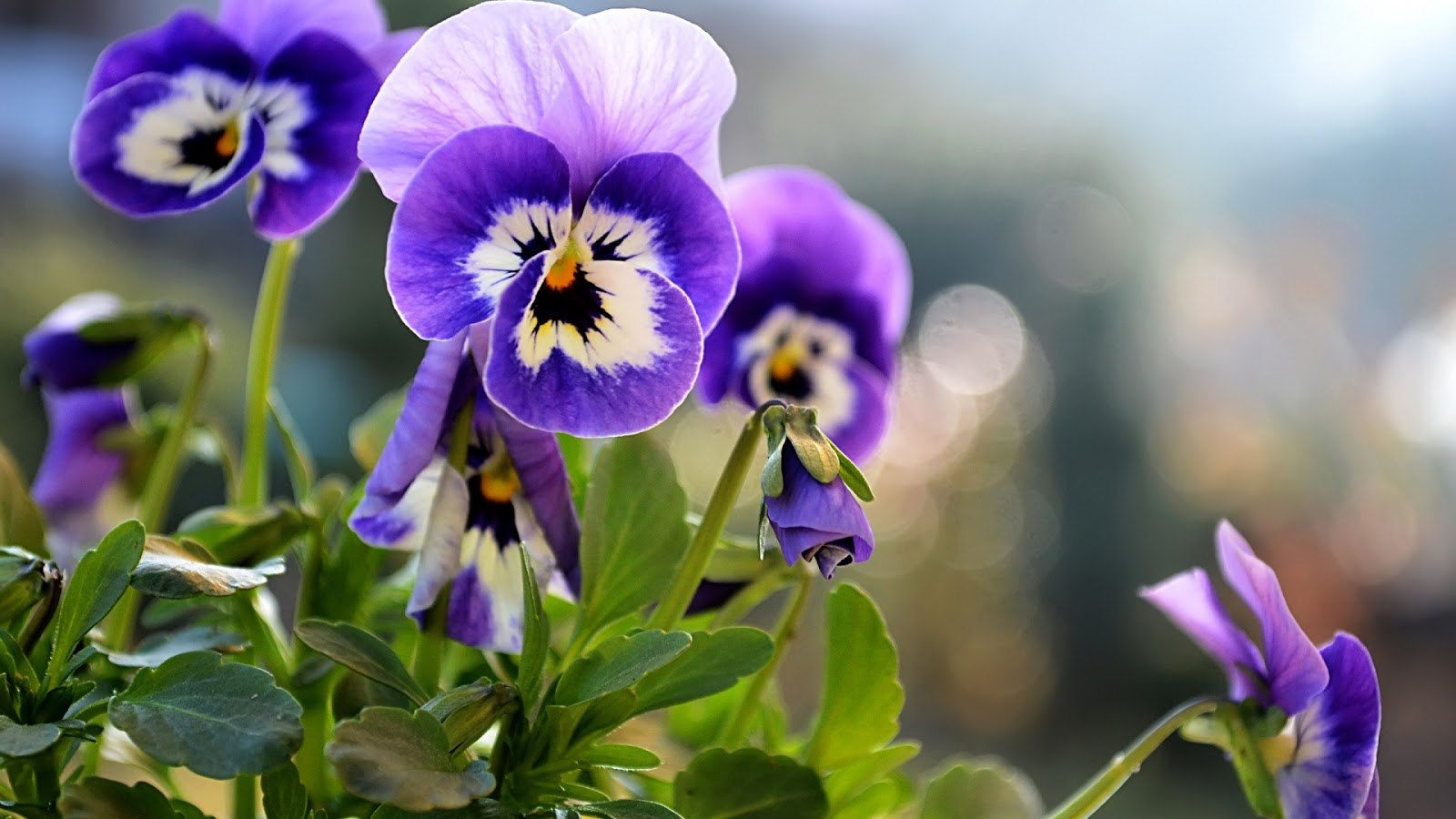 Beautiful Little Pansies