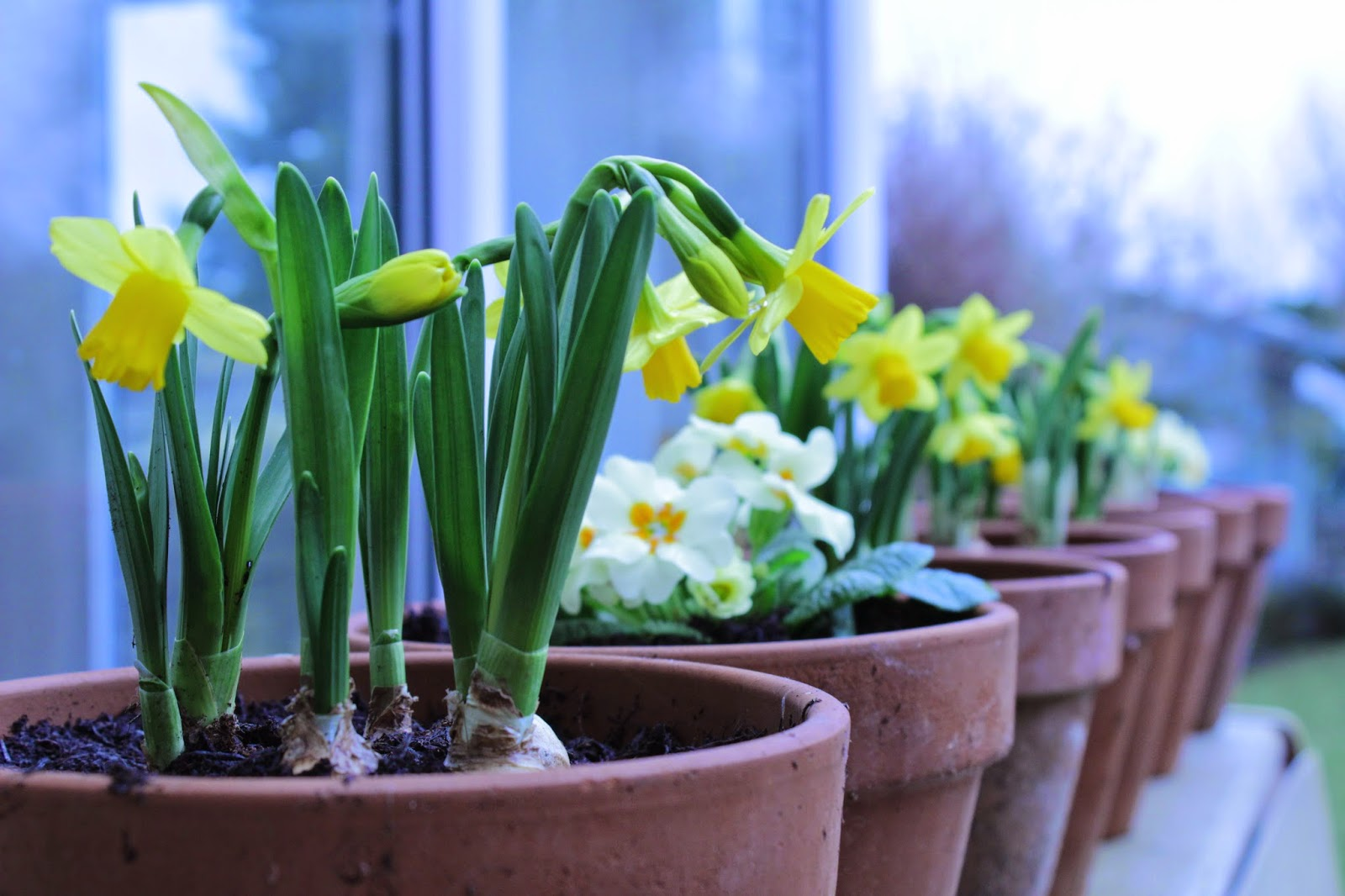 Project 365 day 46 - Daffodils & Primroses // 76sunflowers
