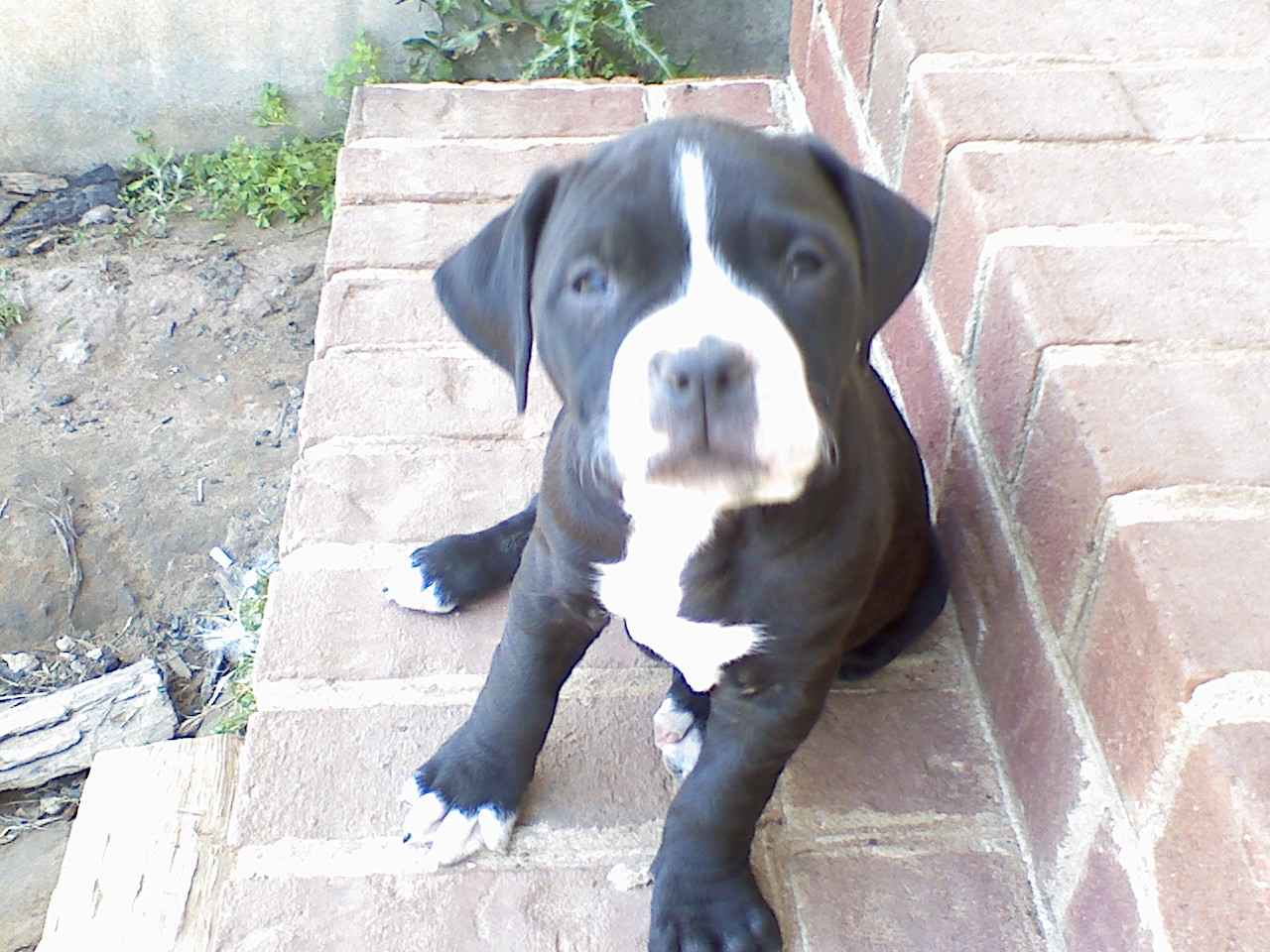 black and white pitbull puppiesBlack And White Pitbull Dogs