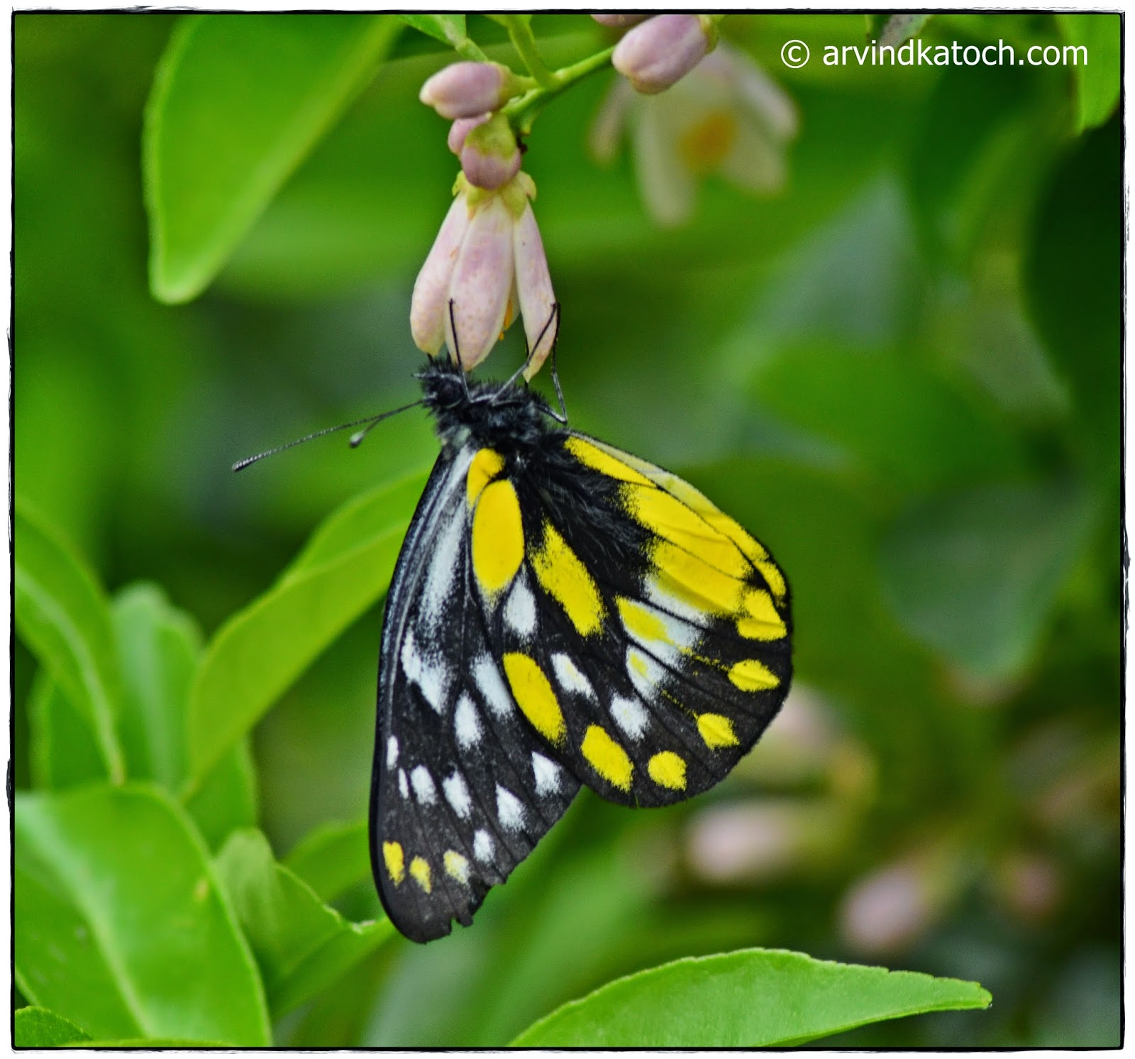 Wallpaper, Himalayan Butterfly, download