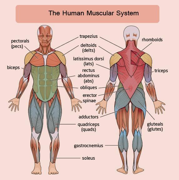 muscle worksheet Termolak – Muscles Worksheet