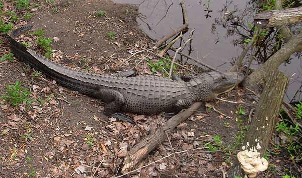 El caimán del Misisipi