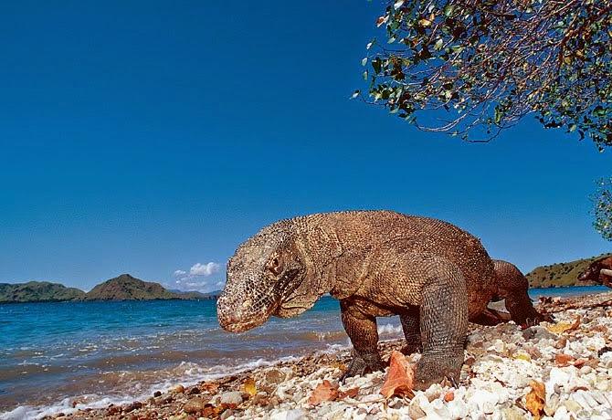 Jangan ke Pulau Komodo Berbaju Merah Atau Saat Haid!