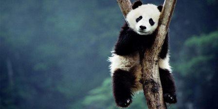 panda cookies, biskut homemade, biskut sedap, biskut comel, biskut panda