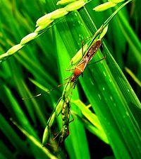 gambar hama walng sangit yang menyerang padi