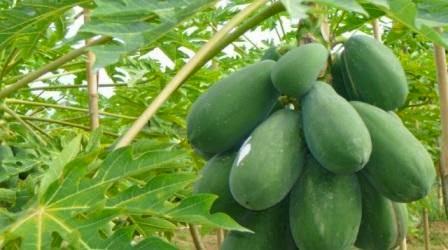 Manfaat dan Kegunaan buah Pepaya....!!!