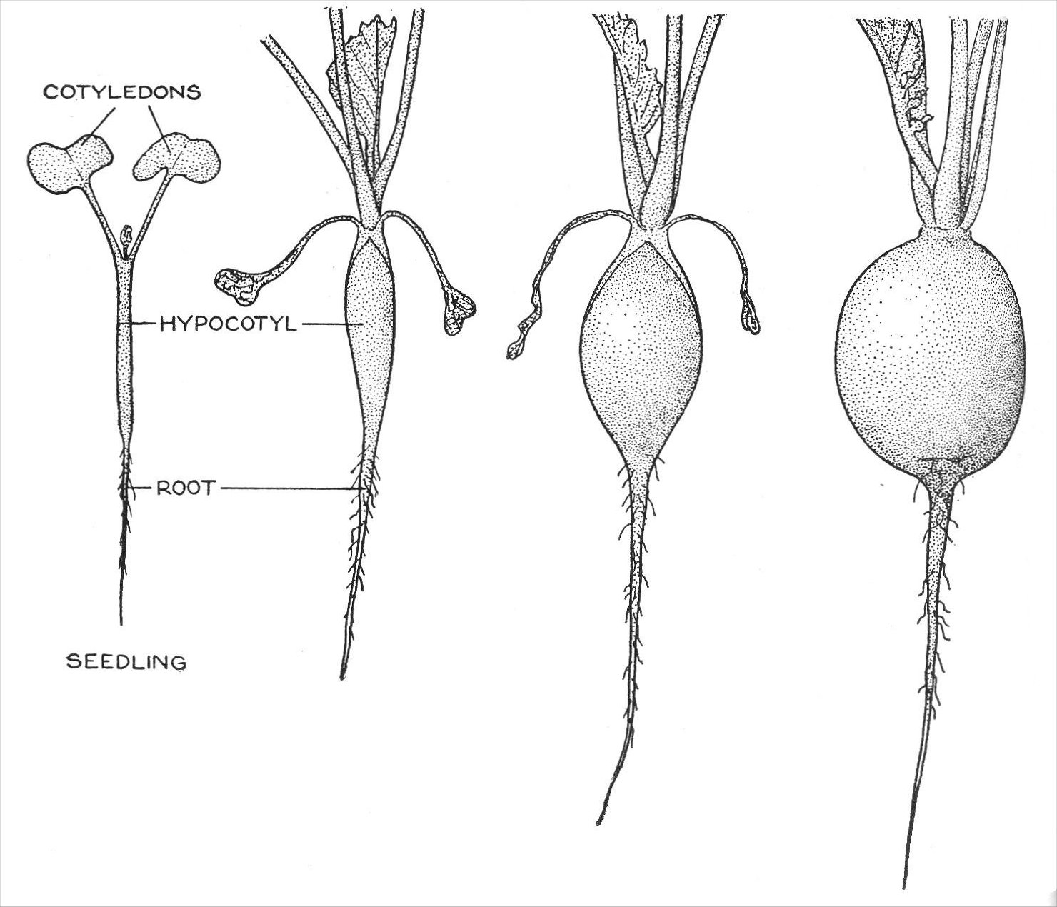 In The Radish Raph Sativa Bricaceae Short Section Of Seedling Stem Below Cotyledons Hypocotyl Swells Into A Storage Organ